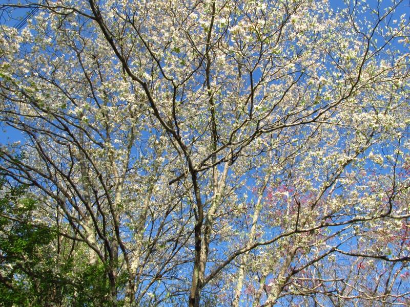 Dogwood Tree stock image