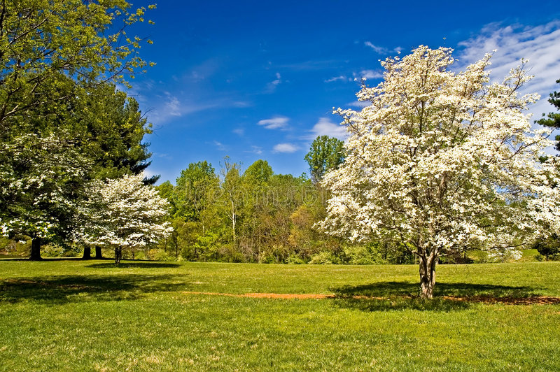 Download Dogwood Trees in Bloom stock image. Image of getaway, park - 2148623