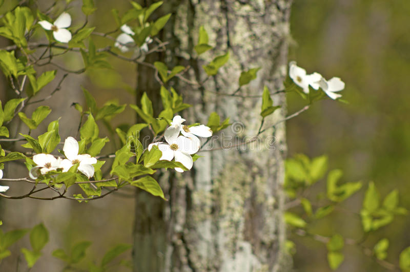 Dogwood trees and new spring growth. stock photography