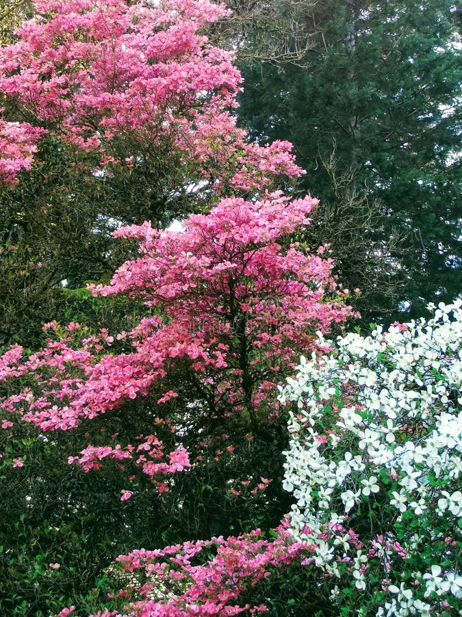 Dogwood Trees. Spring season Dogwood trees with magenta and white foilage stock photography