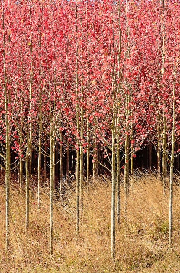 dogwoods fotografia de stock