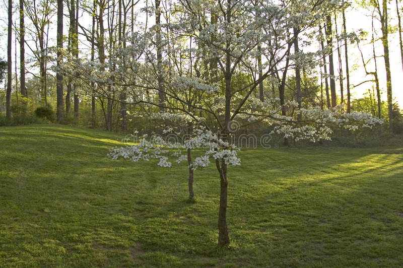 Download Dogwoods & Grass Royalty Free Stock Photo - Image: 219245