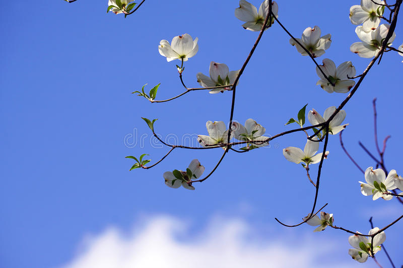 Dogwoods in Springtime royalty free stock images