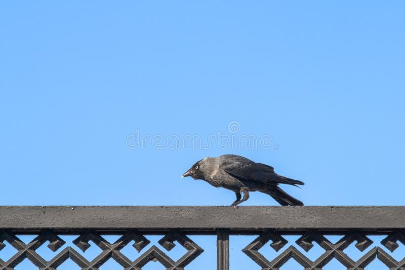 Dohle sitzend auf dem Zaun und geduckt seinem Kopf lizenzfreies stockbild