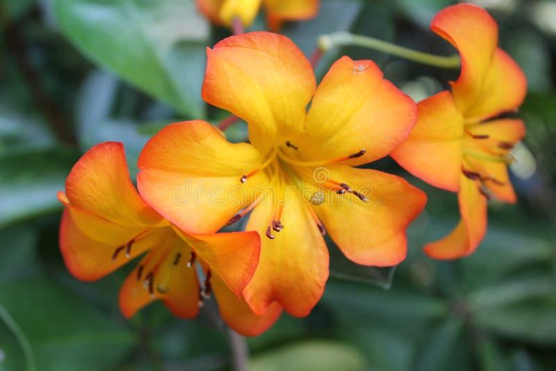 Doi tung Thaïlande de fleur photos libres de droits