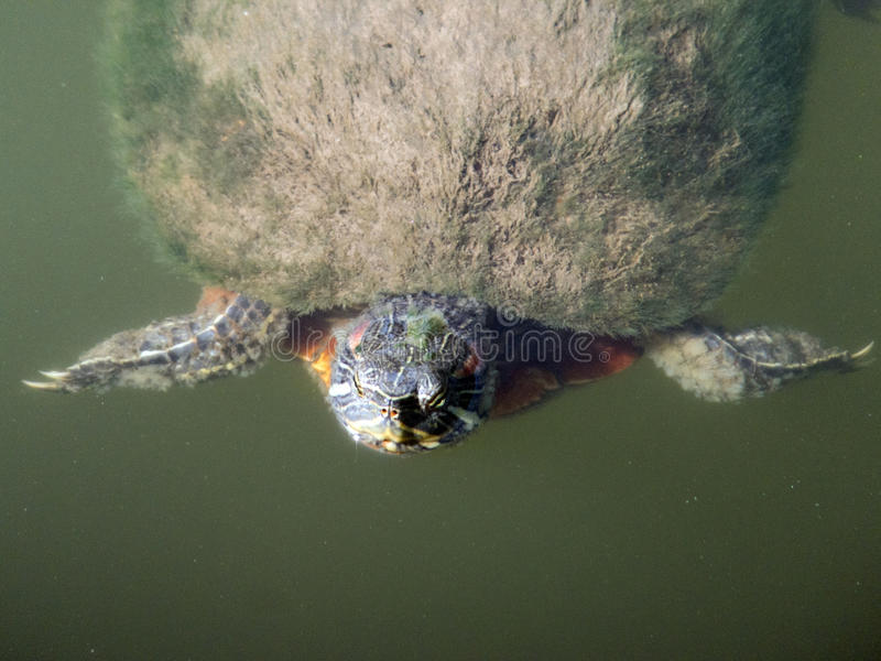Doing the Breaststroke. Turtle swimming in a pond and peeking its head curiously above the surface stock photo
