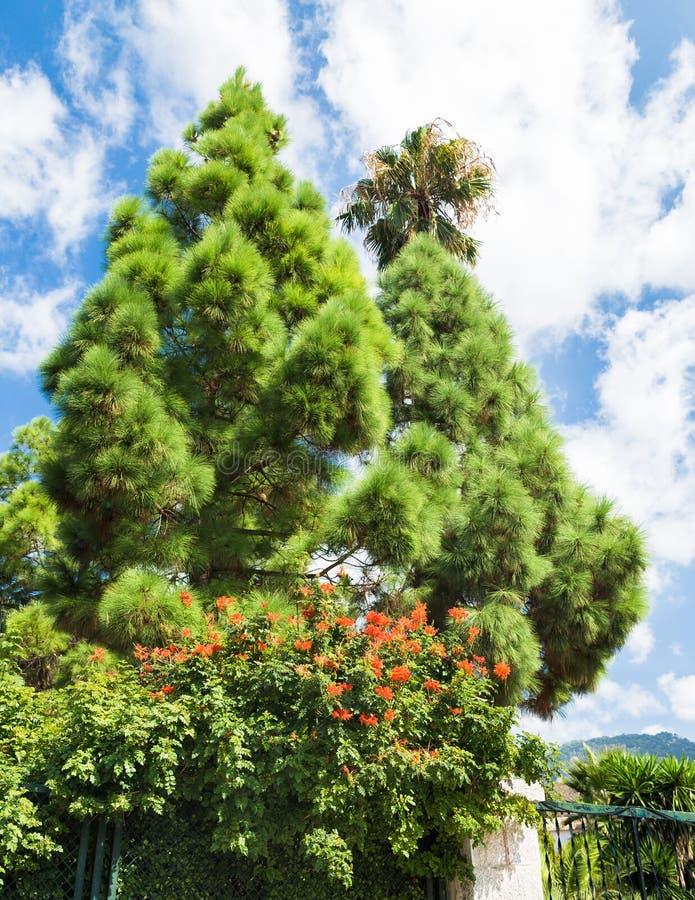 Dois abetos verde-claro com os galhos muito macios fotos de stock royalty free