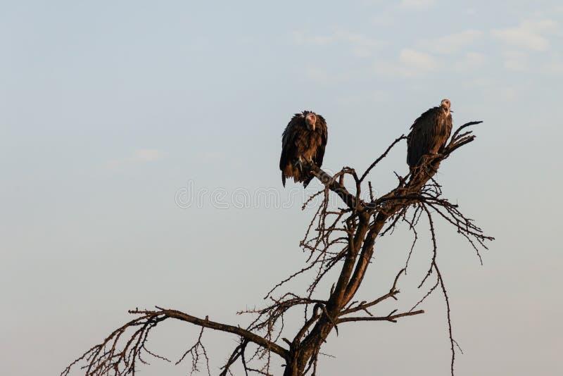 Dois abutres que sentam-se em uma árvore fotografia de stock
