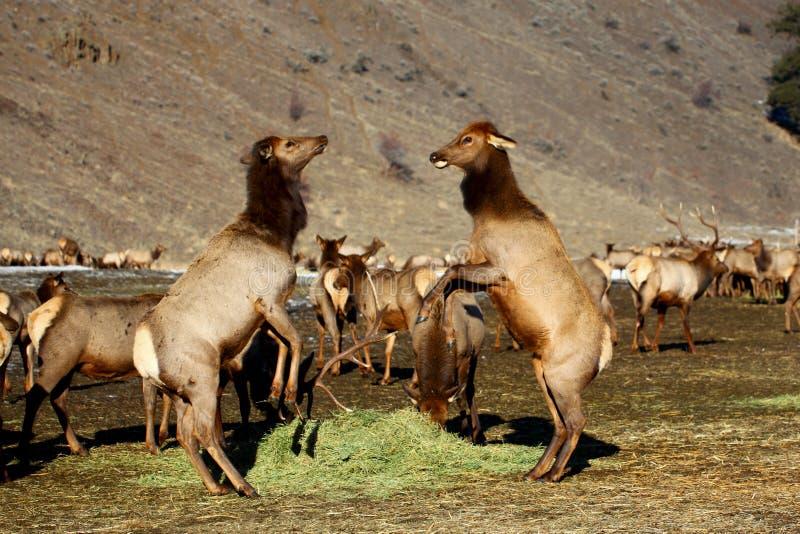 Dois alces fêmeas da vaca que lutam sobre uma pilha do feno em Oak Creek imagem de stock