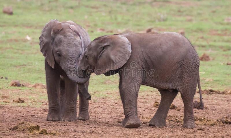 Dois amigos novos dos elefantes imagens de stock royalty free