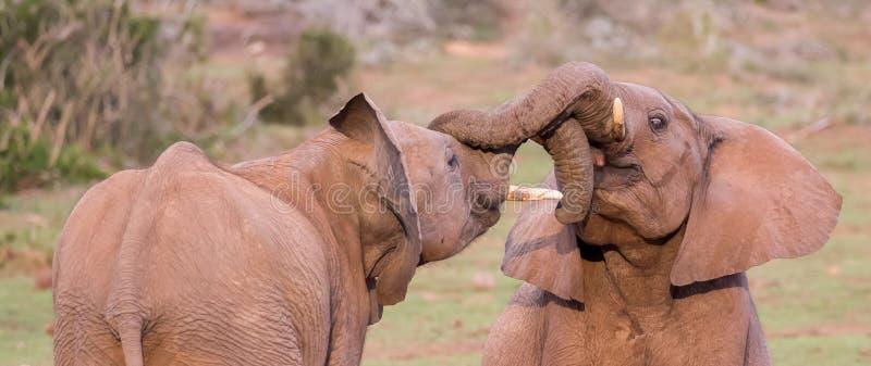 Dois amigos novos dos elefantes que cumprimentam fotografia de stock royalty free