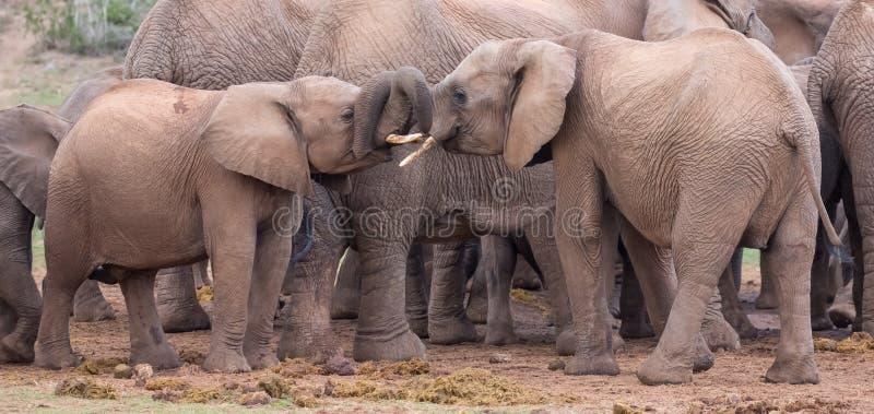 Dois amigos novos dos elefantes que cumprimentam imagem de stock