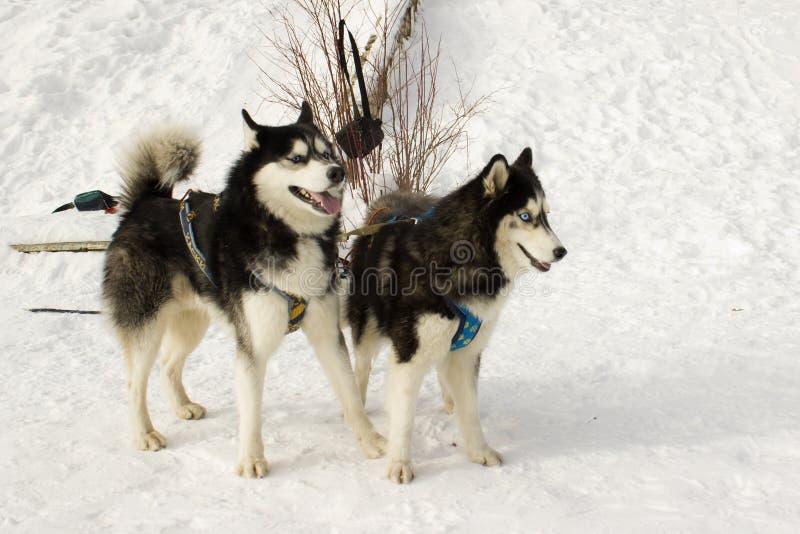 Dois arbustos da cara dos cães de puxar trenós fotos de stock royalty free