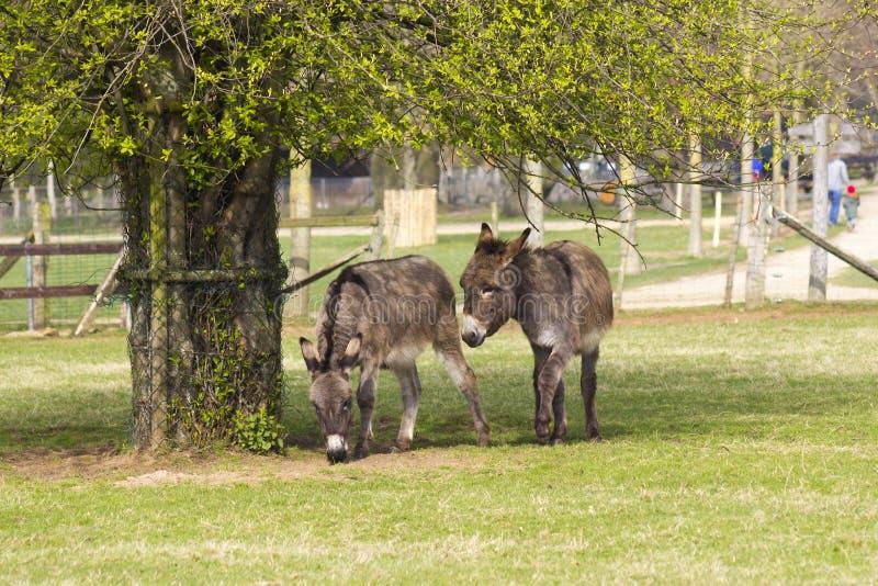 Dois asnos engraçados no jardim zoológico de trocas de carícias imagens de stock royalty free
