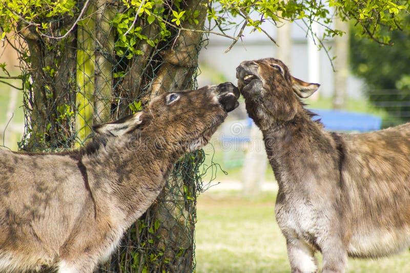 Dois asnos engraçados no jardim zoológico de trocas de carícias imagens de stock