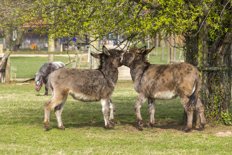 Dois asnos engraçados no jardim zoológico de trocas de carícias fotografia de stock royalty free