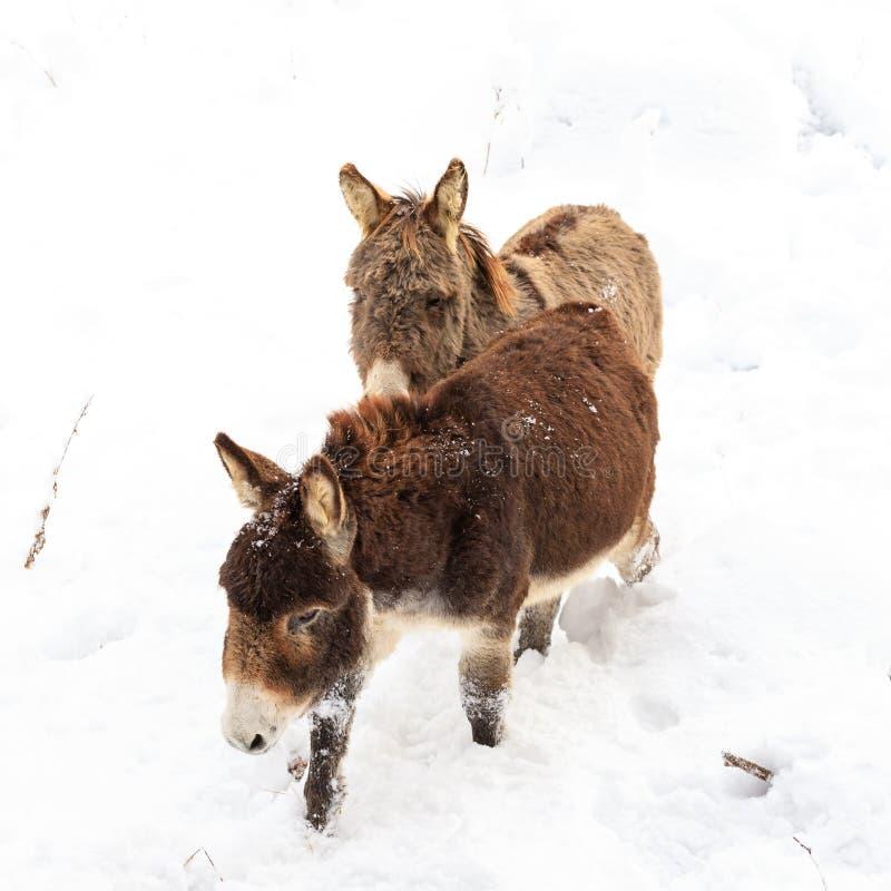 Dois asnos na neve imagem de stock royalty free