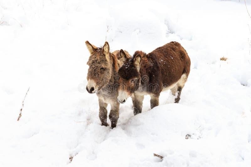 Dois asnos na neve fotos de stock
