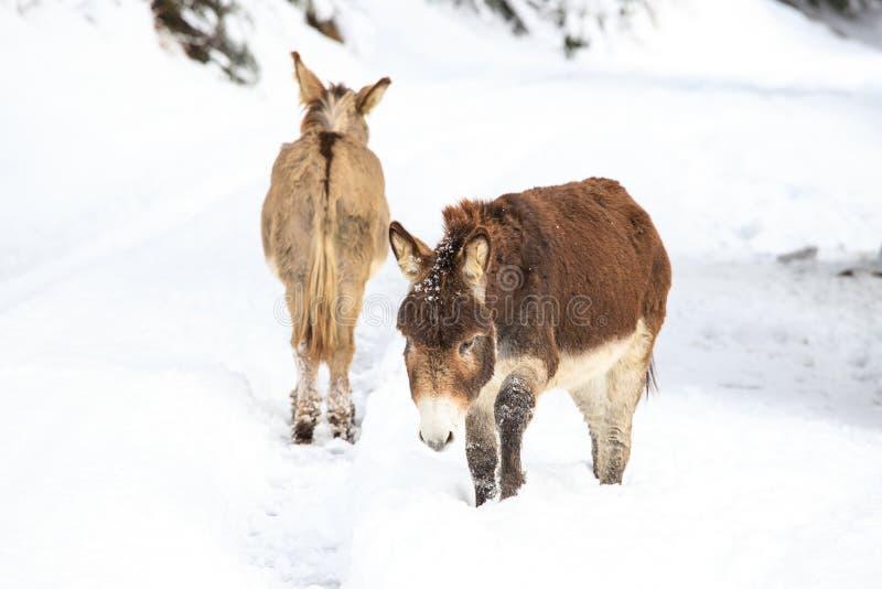 Dois asnos na neve fotografia de stock royalty free
