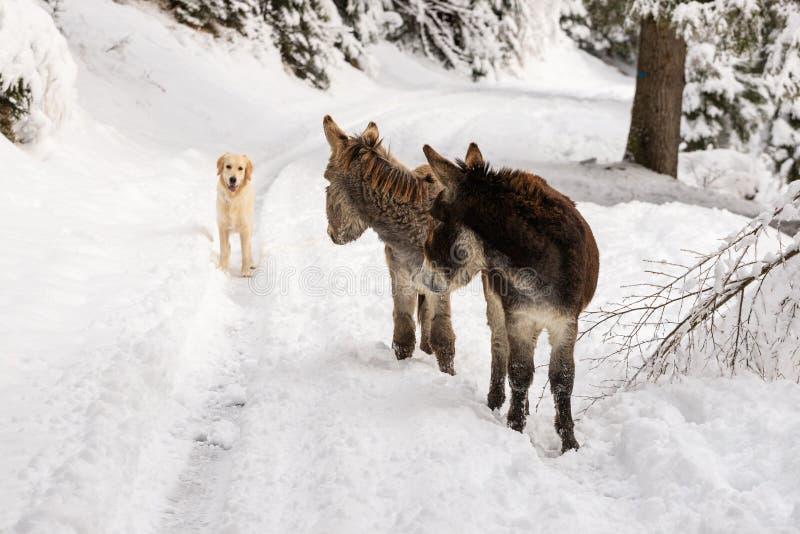 Dois asnos na neve foto de stock royalty free