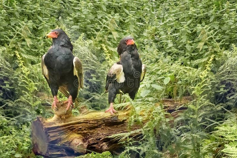 Dois Bateleur Eagles de África Ecaudatus de Terathopius Águia de tamanho médio no Accipitridae da família Verde do auf do retrato fotografia de stock