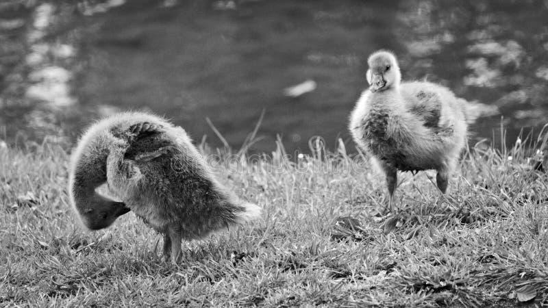 Dois bebês do ganso no rgerpark do ¼ de BÃ, Bransvique fotografia de stock