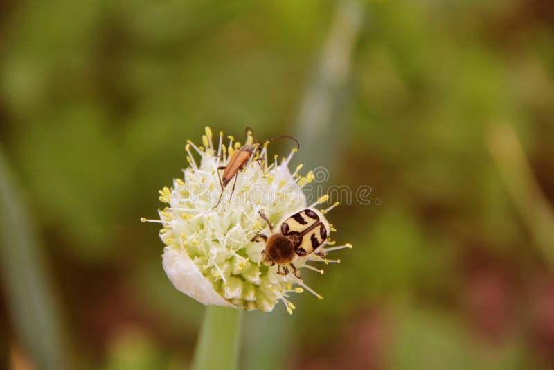 Dois besouros em uma flor da cebola imagem de stock royalty free