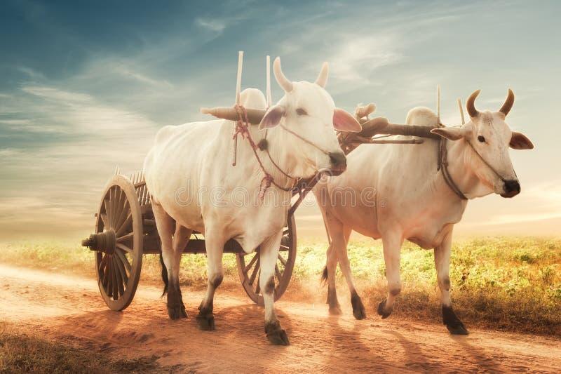 Dois bois asiáticos brancos que puxam o carro de madeira na estrada empoeirada myanmar fotos de stock royalty free