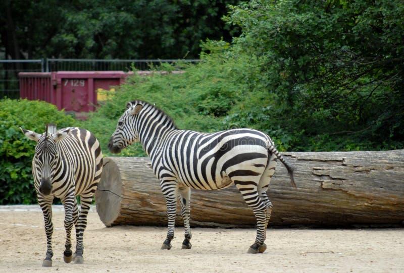 Dois bonitos e zebras calmas no jardim zoológico de Berlim em Alemanha fotos de stock