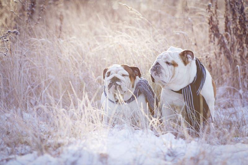 Dois buldogues ingleses sentam-se entre a grama coberto de neve nos scarves imagens de stock