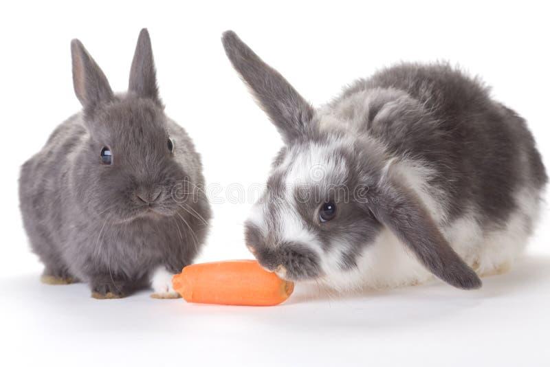 Dois bunnys e uma cenoura, isolada imagem de stock royalty free