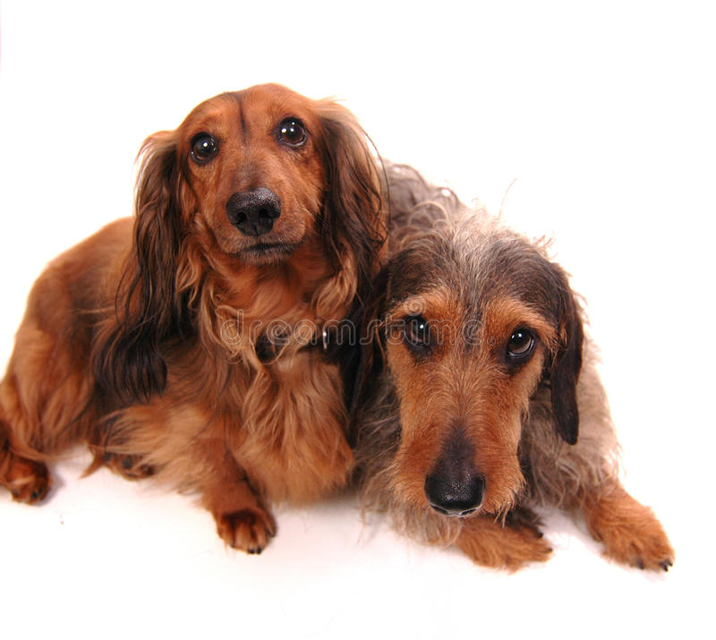 Dois cães fotografia de stock