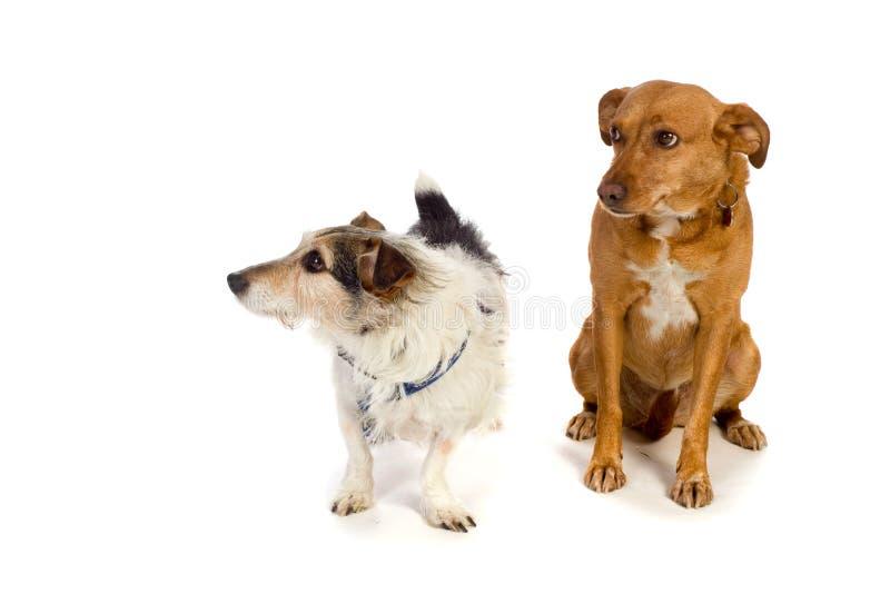 Dois cães foto de stock