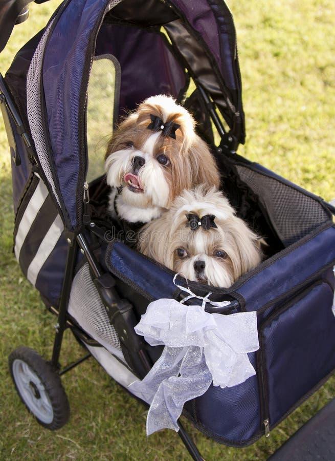 Dois cães bonitos da família em um carrinho de criança no cão estacionam imagens de stock