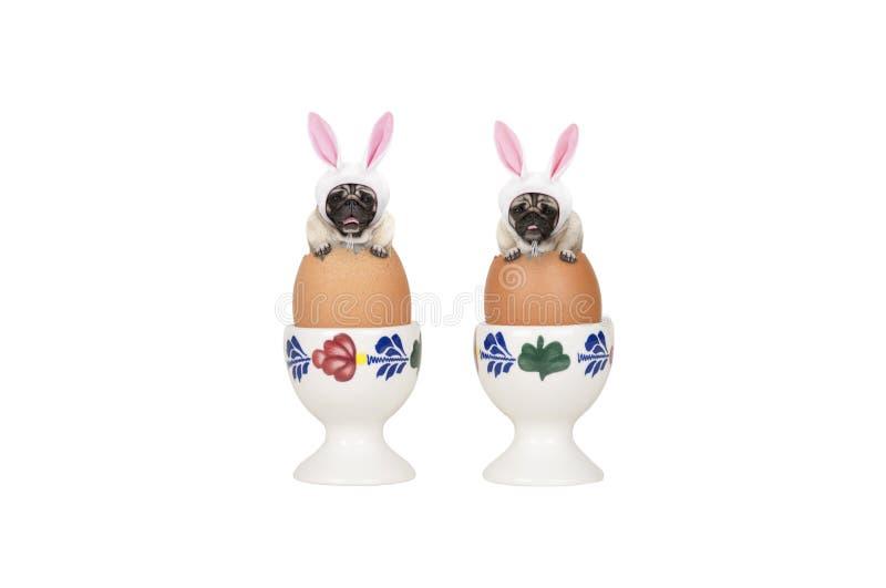 Dois cães bonitos do pug de easter, sentando-se nos ovos no ovo-copo foto de stock