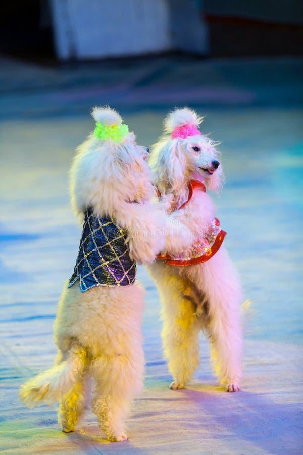 Dois cães brancos estão dançando na arena do circo imagens de stock royalty free