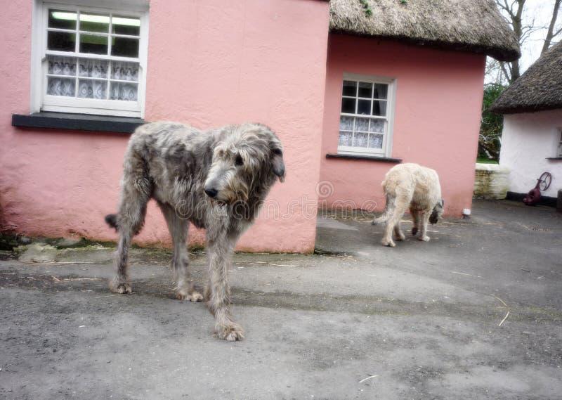 Dois cães caçadores de lobos irlandeses em Shannon, Irlanda foto de stock royalty free