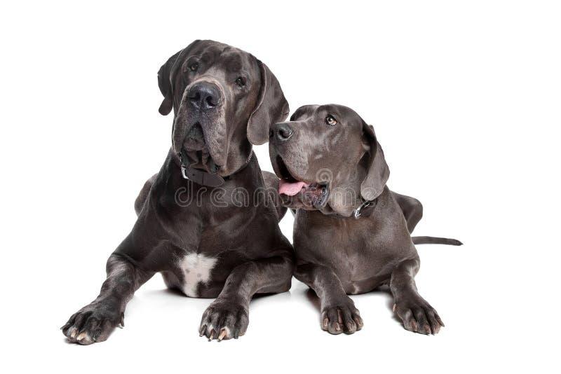 Dois cães cinzentos do grande dinamarquês foto de stock royalty free