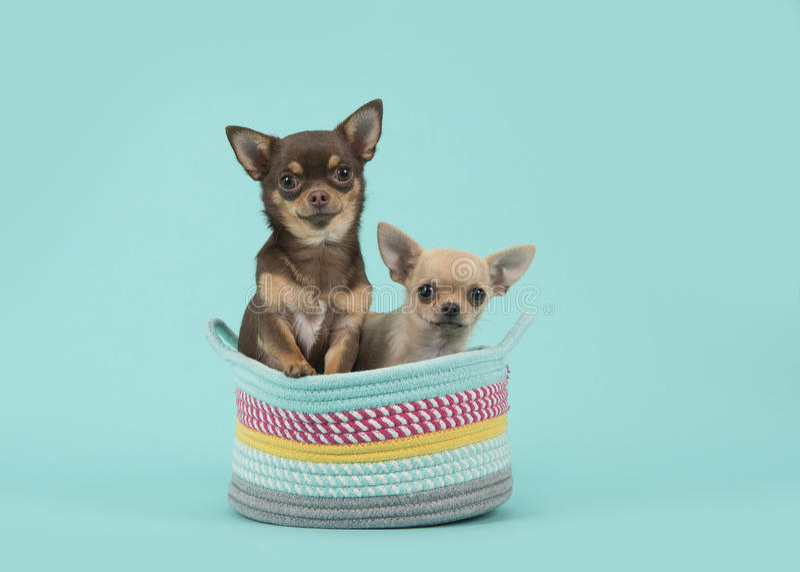 Dois cães da chihuahua em uma cesta colorida em um fundo de turquesa imagens de stock royalty free