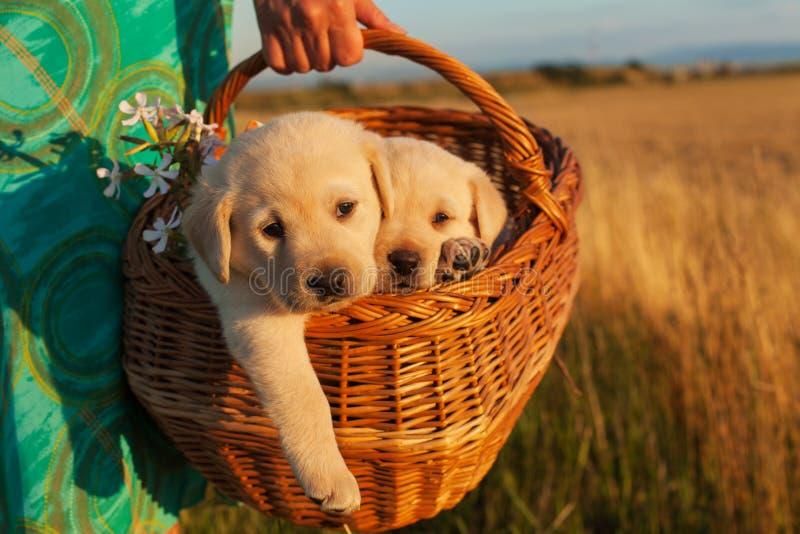 Dois cães de cachorrinho adoráveis de Labrador em uma cesta - as mãos da mulher levam fotos de stock royalty free