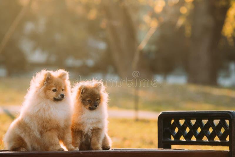 Dois cães de cachorrinho vermelhos novos do Spitz de Pomeranian do cachorrinho que sentam-se no parque fotos de stock royalty free