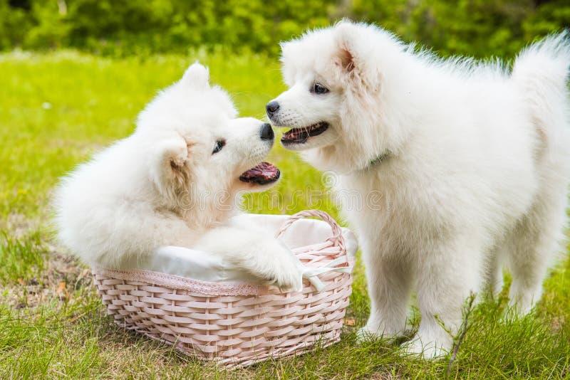 Dois cães de cachorrinhos engraçados do Samoyed na cesta imagens de stock royalty free