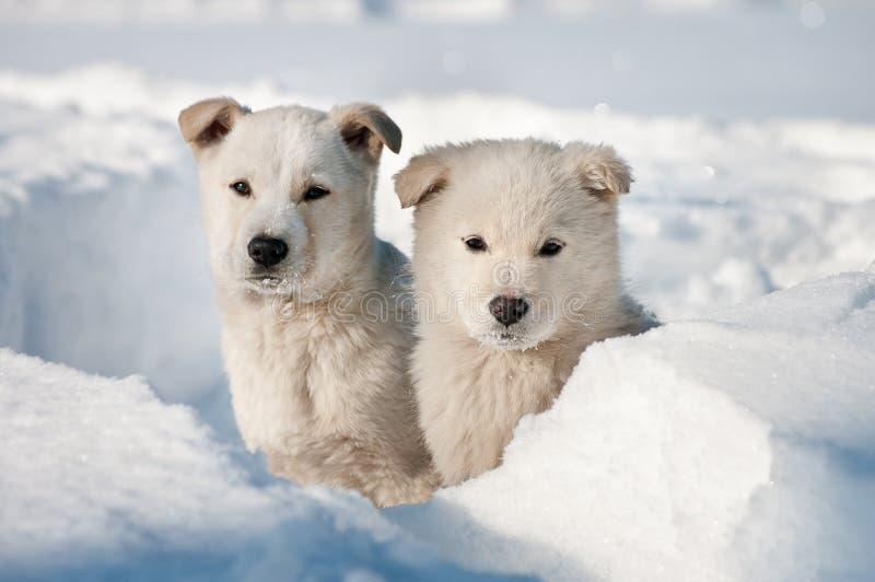 Dois cães de filhote de cachorro que vagueiam foto de stock royalty free