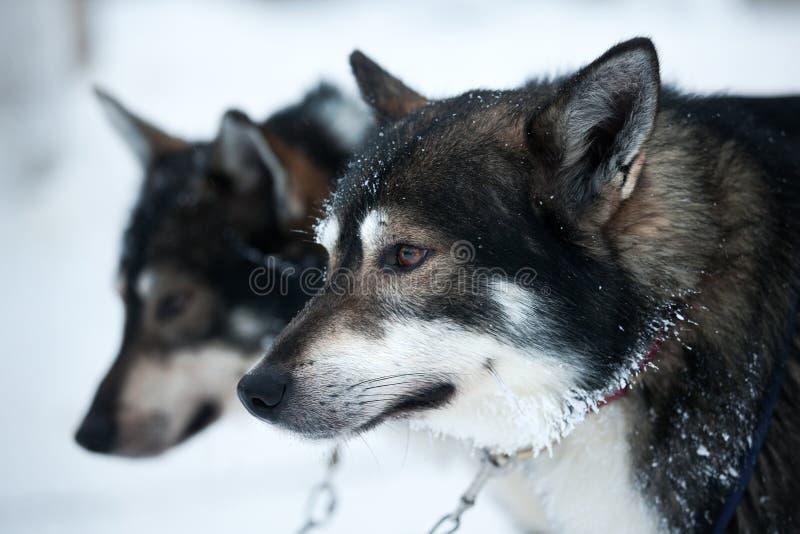 Dois cães de puxar trenós fotografia de stock