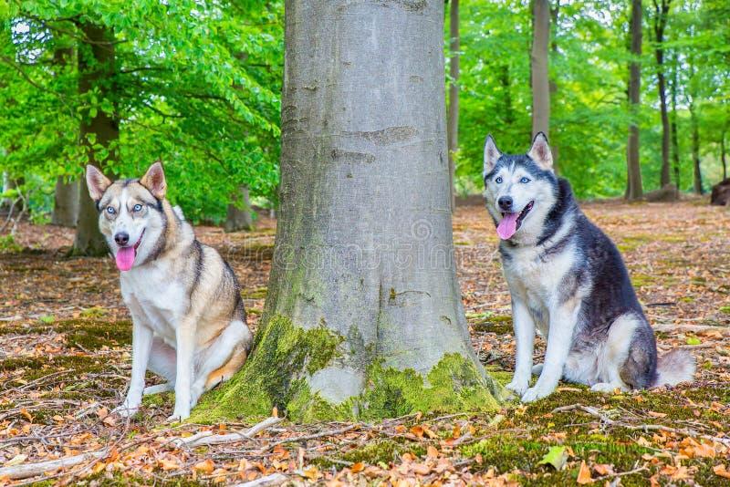 Dois cães de puxar trenós sentam-se junto na floresta da faia fotos de stock royalty free