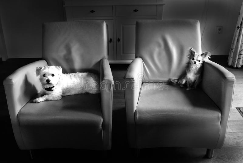 Dois cães de refrigeração imagem de stock