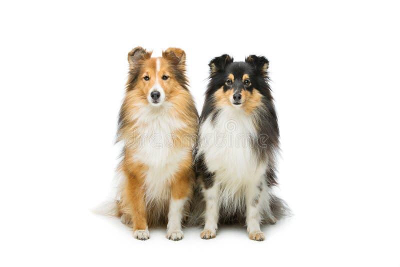 Dois cães de Sheltie imagens de stock