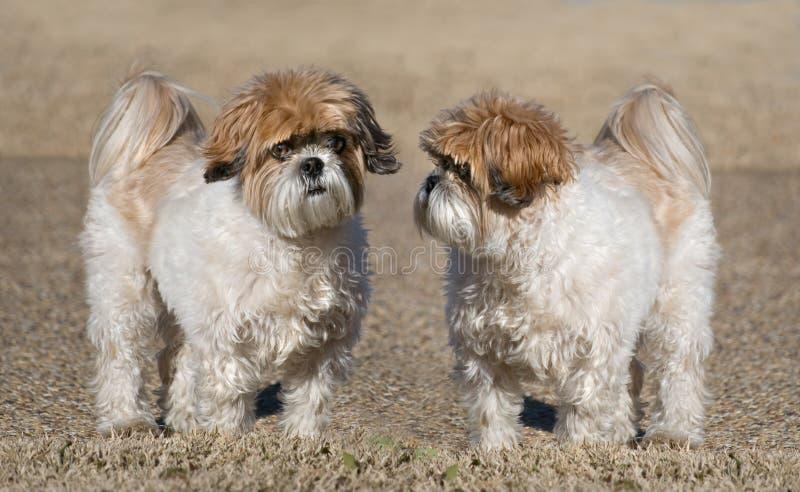 Dois cães de Shih-Tzu fotos de stock