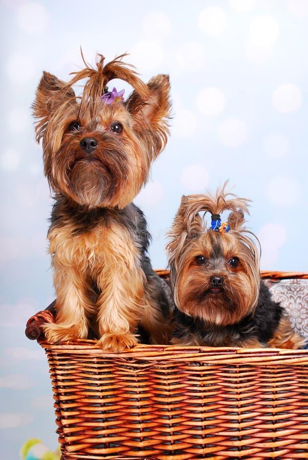 Dois cães de Yorkshire na cesta de vime fotos de stock royalty free