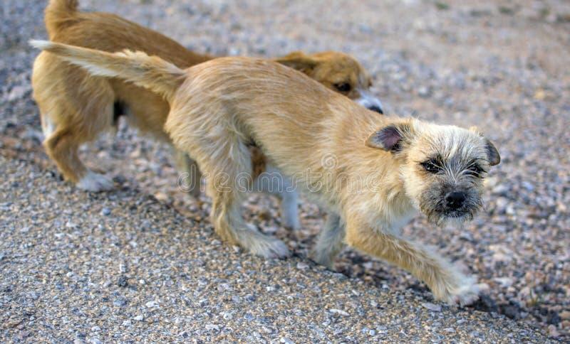 Dois cães dispersos pequenos sós na estrada asfaltada fotografia de stock royalty free